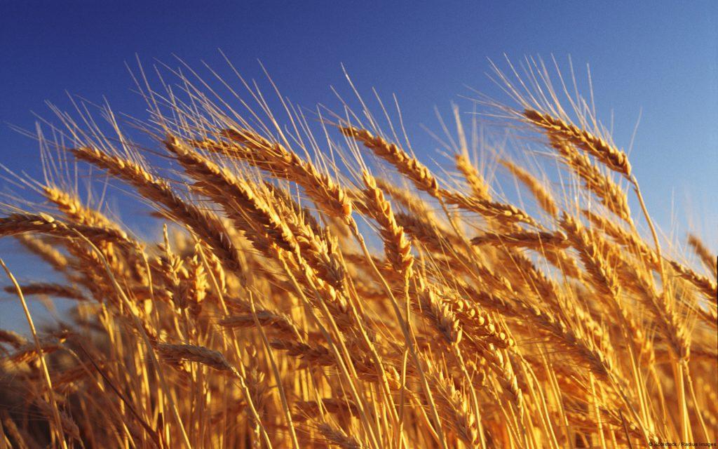 Картинка: пшеница. Хора Боспора